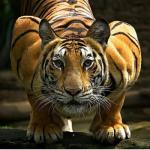 anthro compression_artifacts edit feline feral fur looking_at_viewer male mammal muscular orange_fur photography_(artwork) real solo striped_fur stripes tiger unknown_artist upscale whiskers