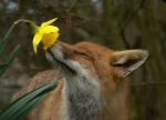 ambiguous_gender black_lips canine cute daffodil day detailed_background eyes_closed feral flower forest fox fur half-length_portrait inner_ear_fluff long_mouth mammal markings nature orange_fur outside photo plant portrait real red_fox side_view sniffing snout solo tree unknown_artist whiskers white_fur  Rating: Safe Score: 160 User: zoodno Date: September 17, 2010