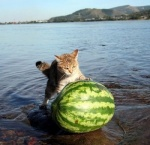 cat cute feline feral lake melon real solo water watermelon wet what   Rating: Safe  Score: 6  User: iwearpants  Date: August 18, 2009