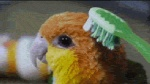 ambiguous_gender animated avian beak bird brown_eyes brushie_brushie_brushie brushing depth_of_field feral fluffy inside low_res meme multicolored_body open_mouth parrot real solo toothbrush white_bellied_caique_parrot  Rating: Safe Score: 34 User: titanmelon Date: June 22, 2012