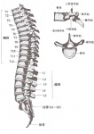 anatomy bone chinese_text dd-101 diagram educational informative lol_comments not_furry skeleton spine text the_more_you_know translated zero_picturedRating: SafeScore: 1User: mscDate: April 03, 2009