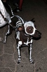 amazing animated_skeleton black_skin bodypaint bone canine dog feral leash pet quadruped real skeleton undead unknown_artist white_markings   Rating: Safe  Score: 4  User: msc  Date: November 24, 2009