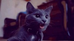 ambiguous_gender animated cat collar ear_twitch feline feral fur grey_fur mammal panting real solo tongue tongue_out yellow_eyes  Rating: Safe Score: 11 User: Daniruu Date: September 19, 2012