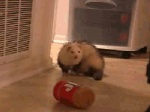 ambiguous_gender animated barrel_roll cute dancing feral ferret loop low_res lying mammal mustelid on_back peanut_butter real rolling solo  Rating: Safe Score: 50 User: CyricV Date: June 11, 2012