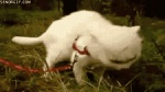 animated eating feline feral grass leash reaction_image real unknown_artist what   Rating: Safe  Score: 2  User: Blaziken  Date: March 03, 2011