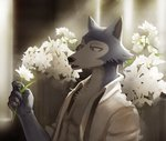 5_fingers 7theaven abs absurd_res anthro beastars canid canine canis chest_tuft claws clothed clothing fangs fingers flower hi_res holding_object legoshi_(beastars) looking_at_object male mammal muscular muscular_anthro muscular_male open_clothing open_mouth open_shirt open_topwear pecs plant shirt solo suspenders teeth topwear tuft unbuttoned_shirt wolf