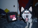 canine compression_artifacts creepypasta dog edit feral grin husky looking_at_viewer mammal meme messy nightmare_fuel open_mouth real red_eyes room smile.dog surprise teeth television tongue   Rating: Safe  Score: 4  User: lalalalala  Date: April 20, 2010